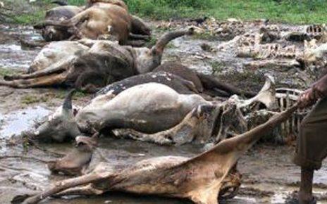 Ondo Govt. bans sales of meat as lightning kills cows again/newsheadline247