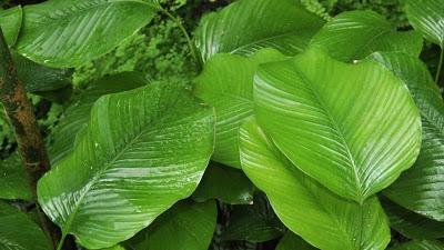 Moi-moi leaf plant prevents kidney, liver damage – Study